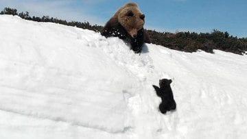 Bears-climbing-snow-video_0