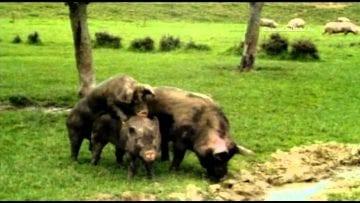 Odd Footage – Mating hogs