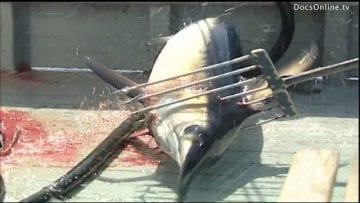 Traditional Swordfish or Marlin fishing