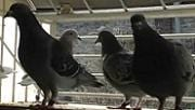 Birds1-250-140